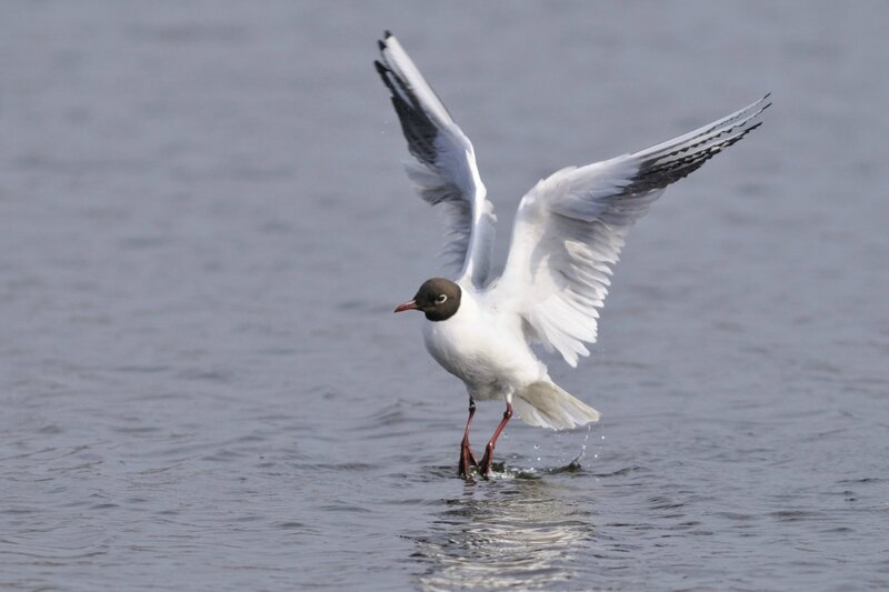 mouette-rieuse_1