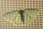 Comotolopsis leuconeura 05