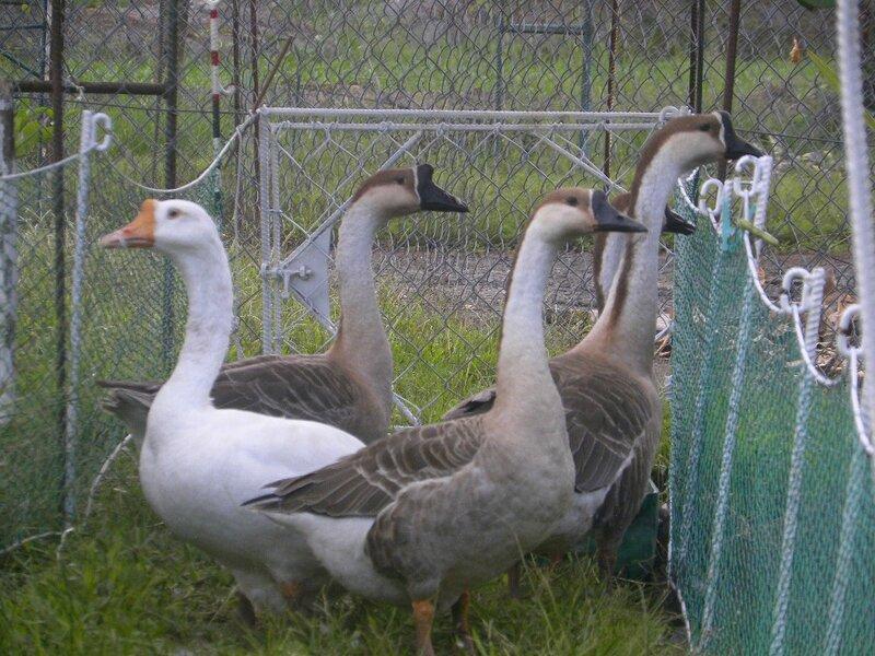 Nos bêtes mangent pratiquement que de l'herbe...
