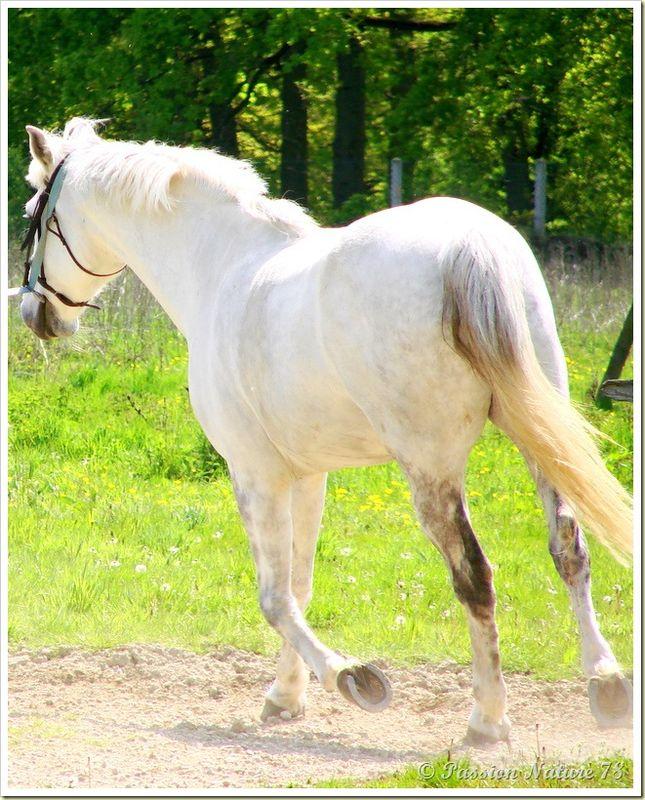 Dressage des chevaux 21