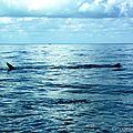 Requin Baleine (Tiburon) environ 14 m de long, 150ans - Isla Holbox