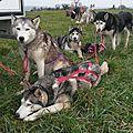 Les loups a l'arrivee de l'entrainement