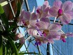 pink_orchids