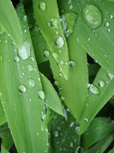 2008 05 13 Aprés la pluie, goutelettes sur les feuilles de lis des Incas