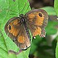Papillon L'Amaryllis 01