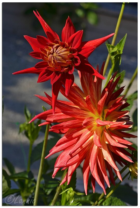 Paris_parc_floral_dahlia_Red_Spider_1