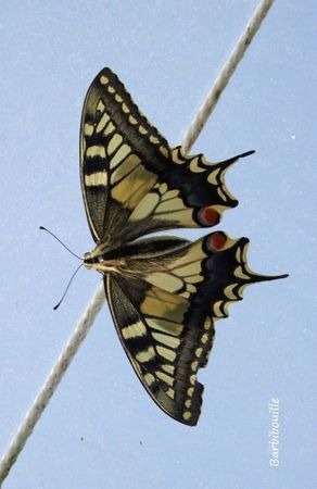 Machaon05 Aout13