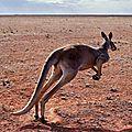 KANGOUROU D'AUSTRALIE