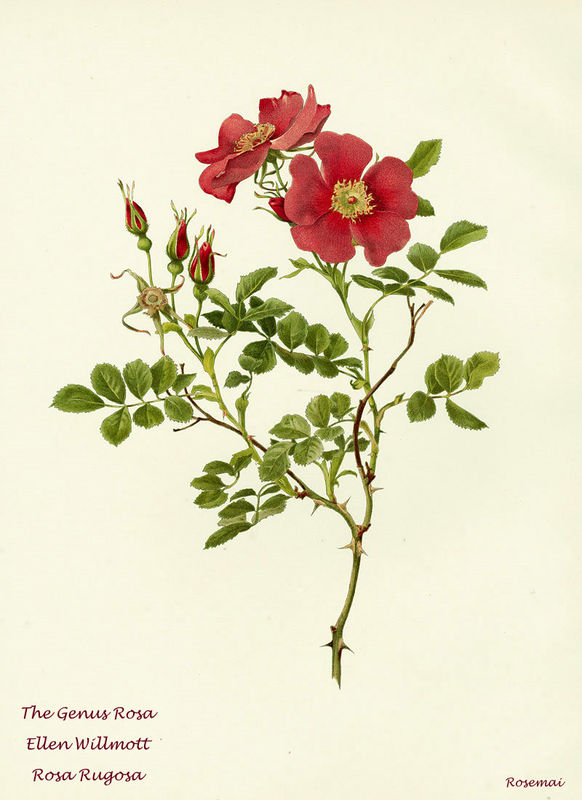 The Genus Rosa d'Ellen Willmott