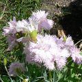 fleurs du jardin 07 06 2010 010