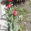Tulipes ... ca se précise ...