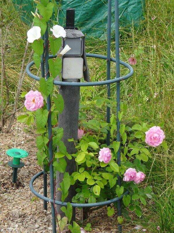 rosier jasmina