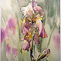 L'Iris rose (31x25): 220 €