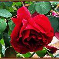 Rose 0105155
