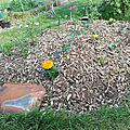piege limaces pomme de terre lilybouticlou
