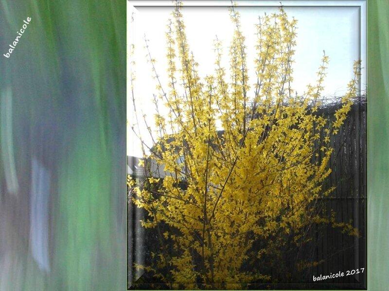 balanicole_2017_02_le printemps des arbustes_18_forsythia1
