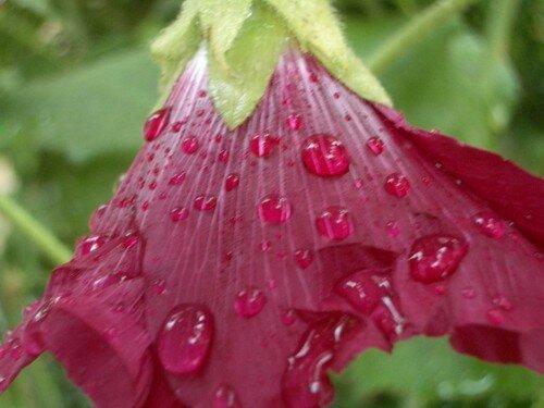 Rose trèmiére