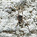 Opiliones • Odiellus spinosus (à confirmer) • Phalangiidae
