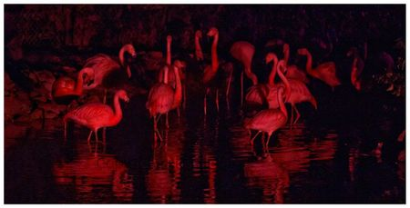 Flamants roses de Jurques