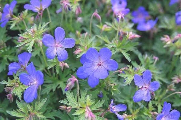 geranium_johnson039s_blue