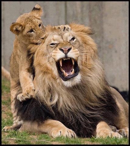 lion et lionceau 2