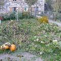 2008 09 29 Mes potrions et courgettes aprés les plusieurs gelées