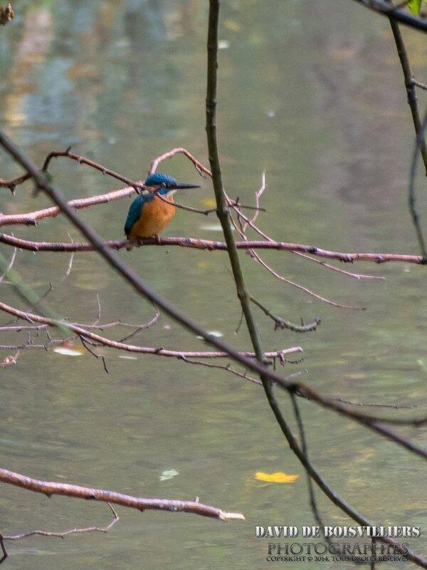 Martin Pêcheur d'Europe (Alcedo atthis), la flèche bleue ...