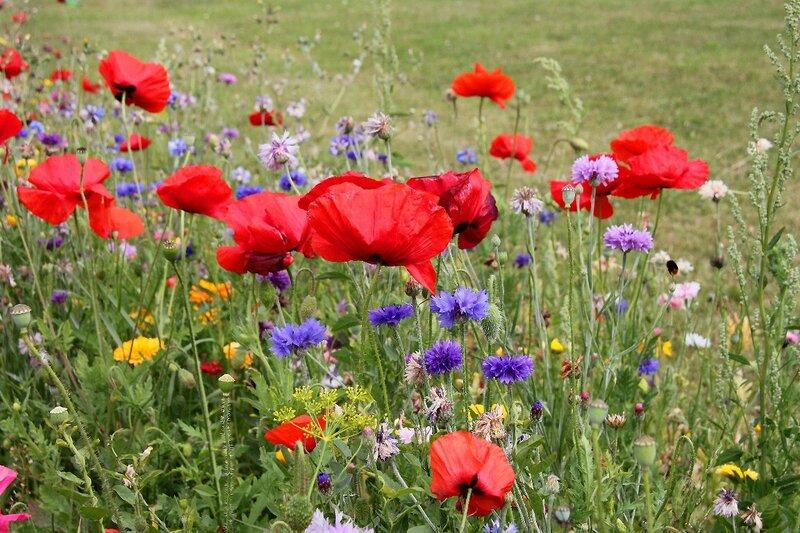 7-Fleurs des champs, coquelicots Cayeux Sur Mer_4636