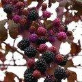 blackberries I