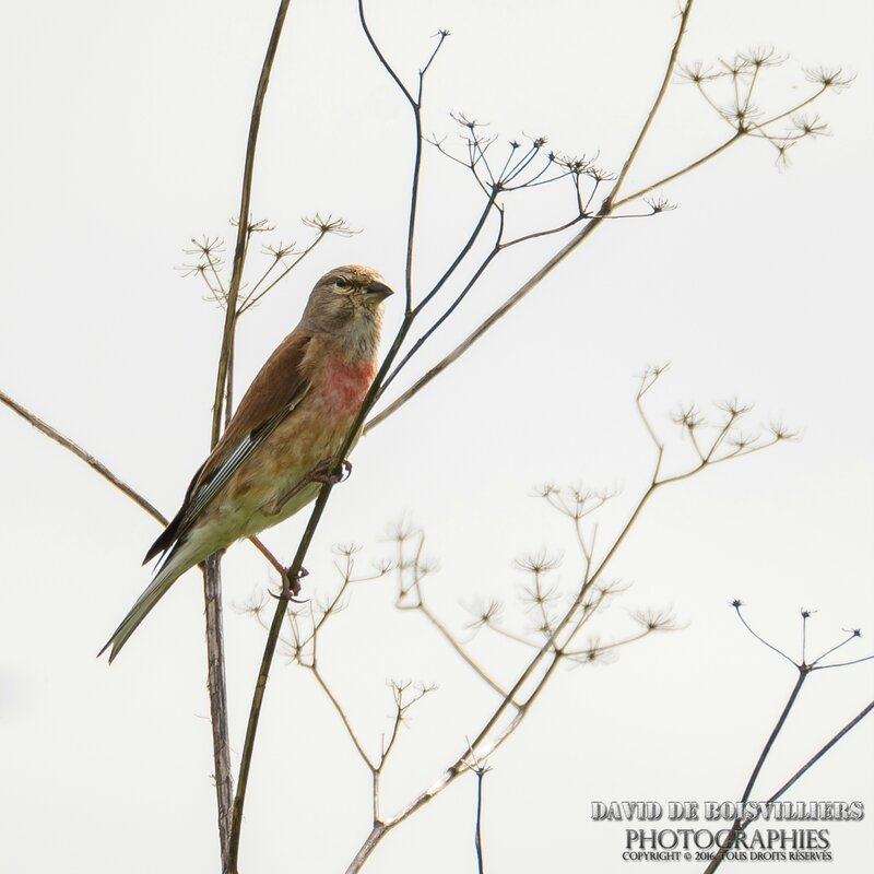 Linotte mélodieuse (Linaria cannabina - Common Linnet) ♂
