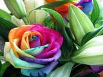 rose_multicolore
