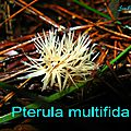 Pterula multifida
