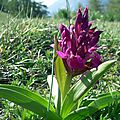 orchis sureau rouge