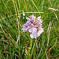 Orchis sauvage