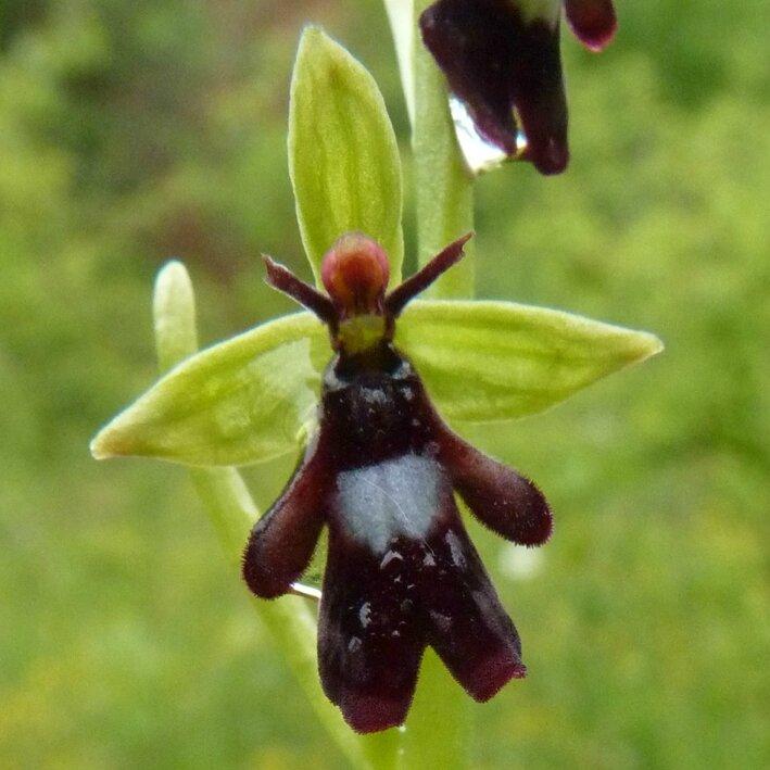 orchis mouche