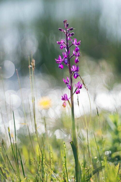 orchis-a-fleur-lache-16-05