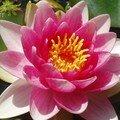 Fleur nénuphar