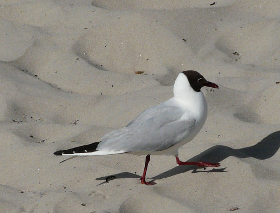 mouette_rieuse