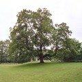 Erable, Lillebonne, juin 2006