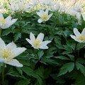 2008 04 23 Des fleurs d'anemone de sylvie