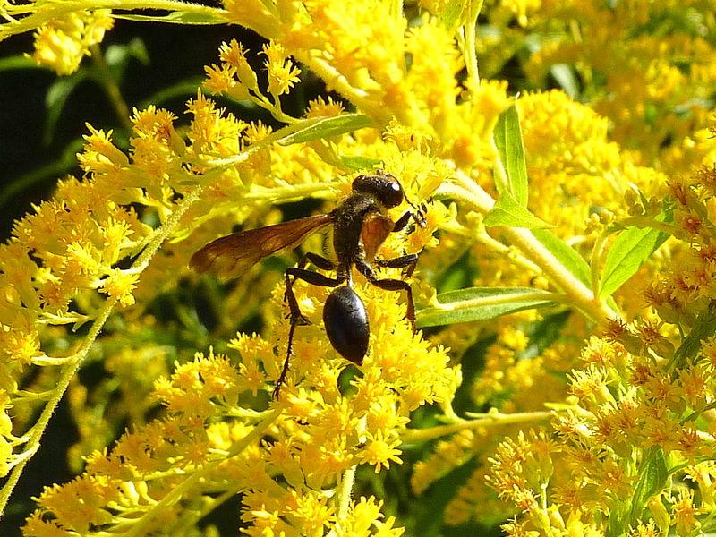 insecte à taille mince, non identifié (longueur 25-30 mm)