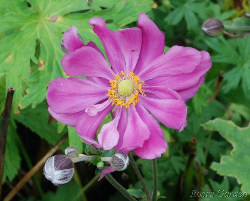 Anemone hupehensis var
