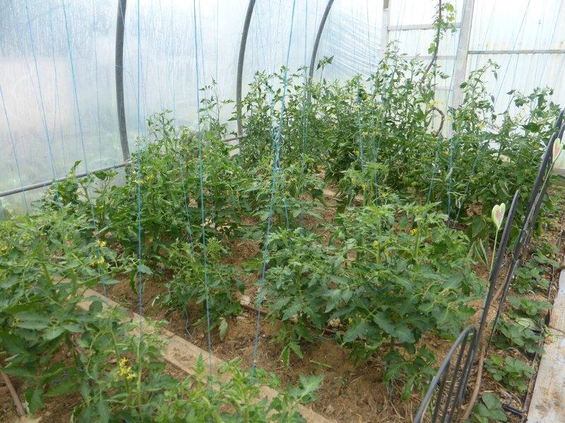 14-tomates-serre (5)