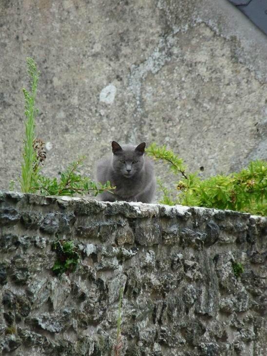 Chat gris au Bourg