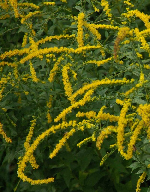 solidago rugosa fire work
