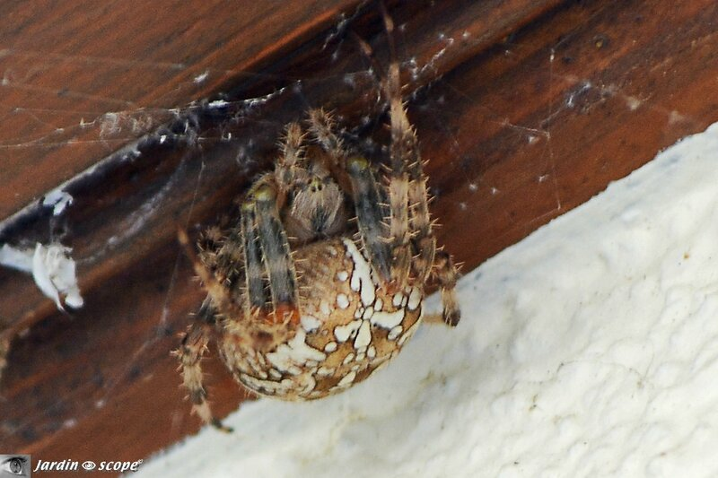Épeire-diadème-•-Araneus-diadematus