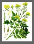 brassica__hirta__blanche_