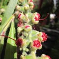callistemon bouton