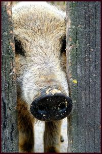 mangalica