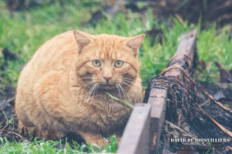 Gros chat en chasse